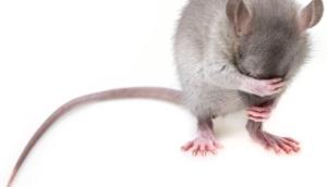 Prévention contre les rats: Le reflex LDSH