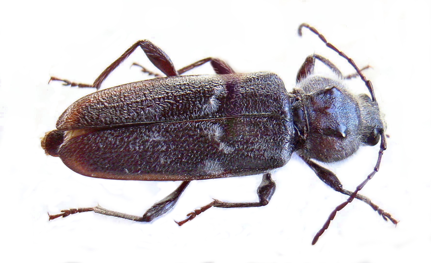 insecte capricorne
